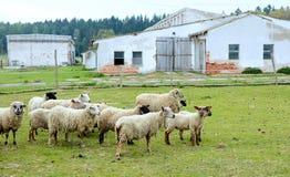 flockas får Arkivfoto