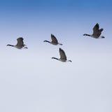 flockas gäss arkivfoton