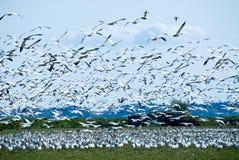 flockas gäss som migrating snow Royaltyfria Bilder