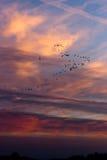 flockas gäss som migrating solnedgång Fotografering för Bildbyråer