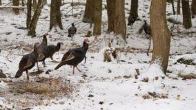 Flockas lösa kalkon i vinterskog royaltyfri bild