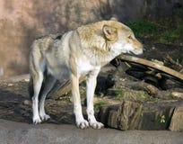 Flockas rovdjurs- däggdjurs- huggtänder för varg av grå tjock päls, lukten, teckenet av skogstäpplya royaltyfria foton