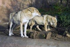 Flockas rovdjurs- däggdjurs- huggtänder för varg av grå tjock päls, lukten, teckenet av skogstäpplya royaltyfria bilder