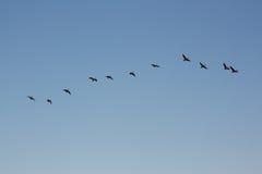 flockbildandegäss som säsongsbetonat migrating Royaltyfri Bild