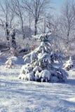 flocked сосенка Стоковая Фотография RF