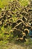 Flocken av änder i plastic staket i ricen field arkivbilder