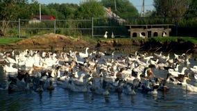 Flocken av änder och gässen som svävar i vattendammet i fågel, brukar Hönslantbruk stock video