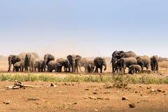 Flocken av afrikanska elefanter som lyfter damm i savannahen, Kruger parkerar, Sydafrika Fotografering för Bildbyråer