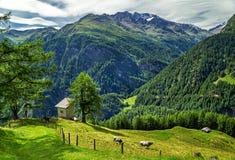 Flocken av bruna kor som betar på det nya gröna berget, betar på den alpina ängen på den soliga sommardagen Royaltyfria Foton
