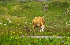 Flocken av bruna kor som betar på det nya gröna berget, betar på den alpina ängen på sommardagen Royaltyfria Bilder