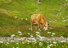 Flocken av bruna kor som betar på det nya gröna berget, betar på den alpina ängen på sommardagen Arkivbild