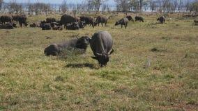 Flocken av buffeln i betar vid sjön i Afrika stock video
