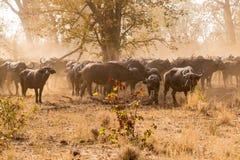Flocken av den afrikanska buffeln som lyfter damm i savannahen, Kruger parkerar, Sydafrika royaltyfria foton