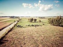 Flocken av den Holstein friesianen skrämmer att beta på gräsplan betar Royaltyfri Foto