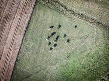Flocken av den Holstein friesianen skrämmer att beta på gräsplan betar Royaltyfri Fotografi