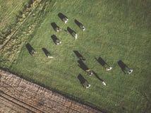 Flocken av den Holstein friesianen skrämmer att beta på gräsplan betar Royaltyfri Bild