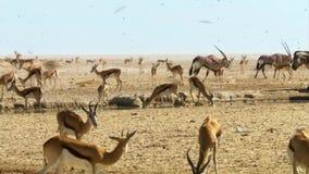Flocken av djur företa sig långa resor i sökande av vatten Flyttning av djur i den afrikanska savannahen arkivfoto