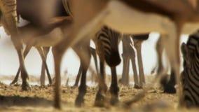 Flocken av djur företa sig långa resor i sökande av vatten Flyttning av djur i den afrikanska savannahen fotografering för bildbyråer