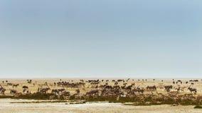 Flocken av djur företa sig långa resor i sökande av vatten Flyttning av djur i den afrikanska savannahen royaltyfri fotografi