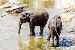Flocken av elefanter royaltyfri foto