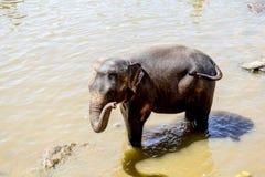 Flocken av elefanter arkivfoton