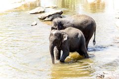 Flocken av elefanter arkivbild