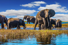 Flocken av elefanter kommer att dricka royaltyfria bilder