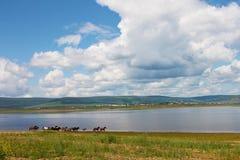 Flocken av färgrika hästar kör längs floden I foto finns det ett härligt landskap: vita moln för stor stackmoln, berg Royaltyfri Bild