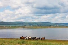 Flocken av färgrika hästar kör längs floden I foto finns det ett härligt landskap: vita moln för stor stackmoln, berg Arkivbild