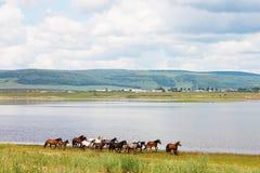 Flocken av färgrika hästar kör längs floden I foto finns det ett härligt landskap: vita moln för stor stackmoln, berg Royaltyfri Foto
