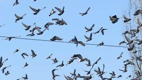 Flocken av fåglar för duvaduvahimmel flyger mot den blåa ultrarapidvideoen lager videofilmer