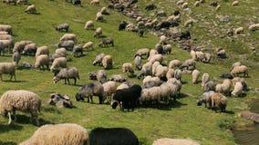Flocken av får betar på lutningen av de Carpathian bergen lager videofilmer