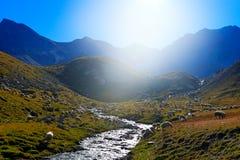 Flocken av får, dricksvatten i streem, Gran Paradiso Nationl parkerar, Italien Härligt landskap med blehimmel i fjällängen, Europ royaltyfri bild