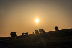 Flock av får på solnedgången Royaltyfria Bilder