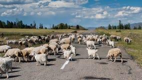 Flocken av får korsar vägen i Tuva Republic royaltyfri foto