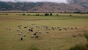 Flocken av får med det härliga berget landskap skottet arkivfilmer