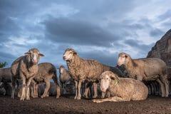 Flocken av får med mörker fördunklar i bakgrunden Arkivbild