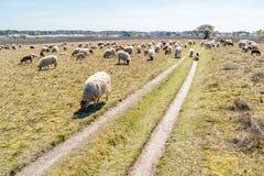 Flocken av får och lamm betar på heden, Nederländerna Royaltyfri Fotografi