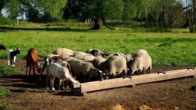 Flocken av får och RAM som äter mat från matningsho betar på, på den djura lantgården stock video