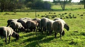 Flocken av får och RAM som går på, betar på den djura lantgården jordbruks- industri lager videofilmer