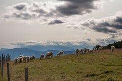 Flocken av får på en högland betar Arkivfoton