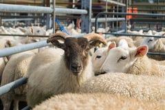Flock av får som är blandade med getter Royaltyfri Fotografi
