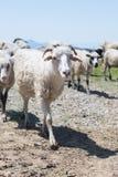 Flocken av får som går på vägen till de ukrainska Carpathiansna, betar Royaltyfria Foton