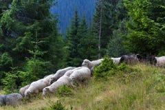 Flocken av får stiger ned från bergen Prydliga träd i de ukrainska Carpathiansna Hållbart klart ekosystem royaltyfria foton