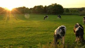 Flocken av friesianen skrämmer att beta som äter gräs i ett fält på en lantgård på solnedgången eller soluppgång arkivfilmer