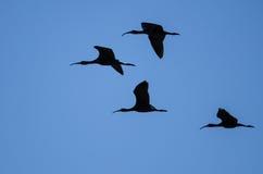 Flocken av fyra Vit-vände mot ibits Silhouetted i en blå himmel Royaltyfria Foton