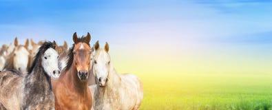 Flocken av hästar på bakgrund av sommar betar, himmel och solljus, banret för website royaltyfri fotografi