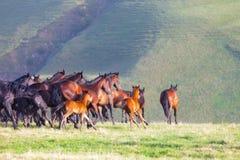 Flocken av hästar på en sommar betar Royaltyfria Foton
