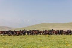 Flocken av hästar på en sommar betar. Royaltyfri Foto