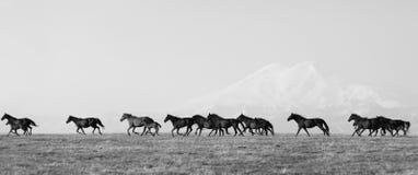 Flocken av hästar på en sommar betar Royaltyfri Fotografi